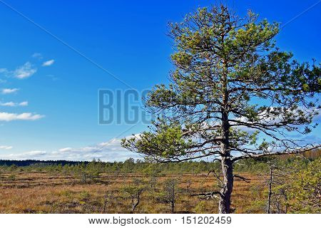 Pine on bog. Blue sky on background.