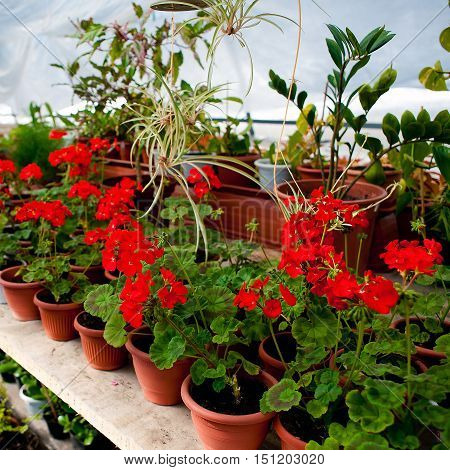 Green house with blooming red geranium plats.