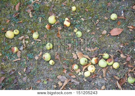 Yellow Rotting Apples In The Green Grass. Seasonal Natural