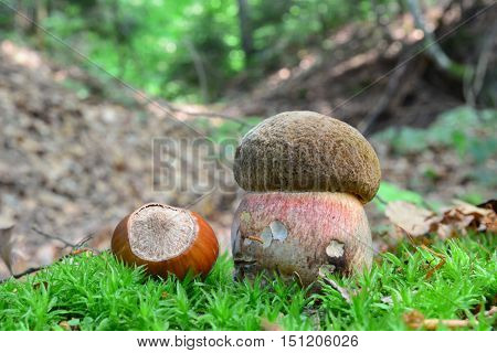 Very young and small specimen of Boletus luridiformis or Scarletina bolete mushroom in a moss in the company of one big hazelnut