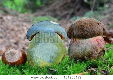 Very young and small specimen of Boletus luridiformis or Scarletina bolete mushroom in a moss cross section both sides and color change at the intersection visible