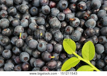 hands collected fresh bilberry. Lots of beautiful berries, fresh, ripe bilberries for the background .Food containing a lot of vitamins to maintain health, improve vision.Organic, natural