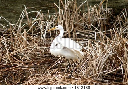 Egret Spreading His Wings