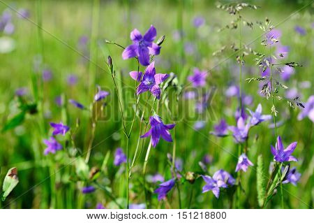 nice violet flowers and grass in meadow