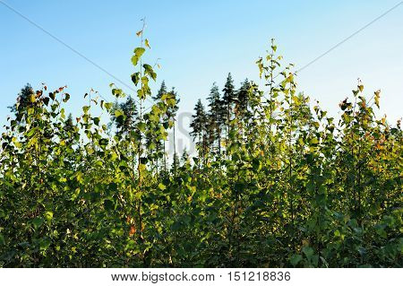 green wild bush and blue sky in summer