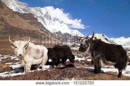 Yaks on the way to Everest base camp and mount Lhotse - Nepal