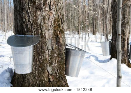Maple syrup season. Pails on trees for collecting maple sap to produce maple syrup. poster
