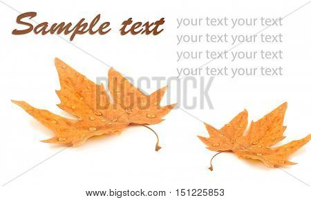 Yellow foliage on white background with space for text.