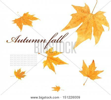 Text AUTUMN FALL and yellow foliage on white background.