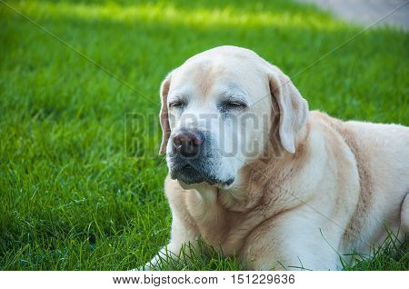 the old tired dog the Labrador lies on a green lawn