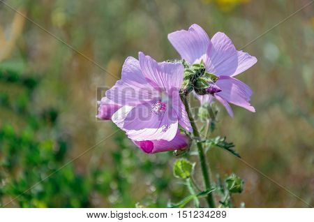 Closeup of a budding and dark pink flowering musk-mallow or Malva moschata plant in its own natural habitat on a sunny day in the summer season.