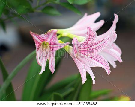 closeup shot of netted-veined amaryllis Amaryllis reticulata or Hippeastrum reticulatum