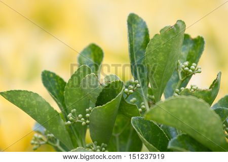 Evergreen Euonymus japonica leaves on yellow background with small flowers
