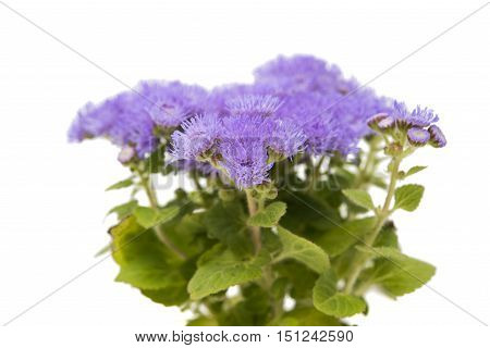 blue ageratum flowers isolated on white background