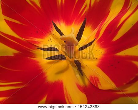 Close up of a bright orange and yellow tulip