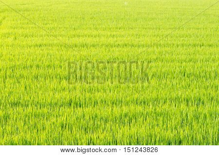 Young green paddy field. Rice fields. View of Young rice sprout ready to growing in the rice field.