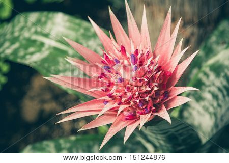 Blooming Aechmea fasciata, plant in the bromeliad family in Utopia Orchid Park, Israel. Close-up, selected focus