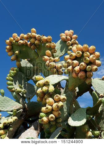 Cactus fruits, opuntia, fresh yellow cactus fruits, summer fruits, yellow fruits, season, eatable cactus fruit, summertime, tequila fruit, mexican fruit, popular in Mexico