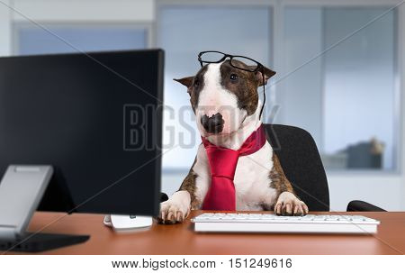Bullterrier dog working with a computer in an office