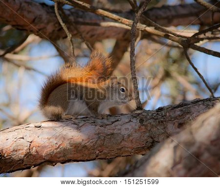Adorable red squirrel on a barren tree branch.