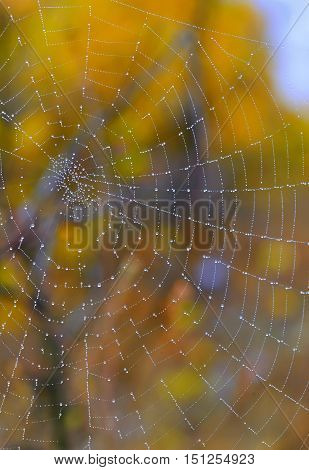 Autumn spiderweb closeup and dew drops, close up