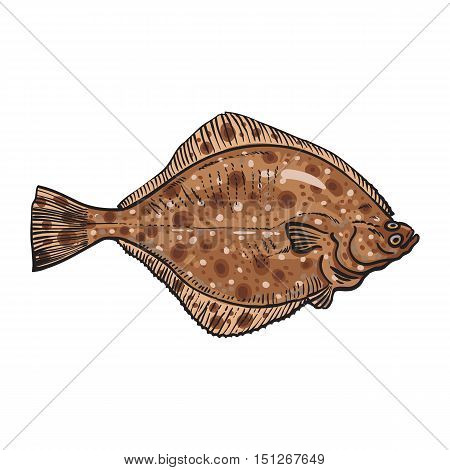 Hand drawn flounder, sketch style vector illustration isolated on white background. Colorful realistic drawing of a flounder or flatfish, edible freshwater fish
