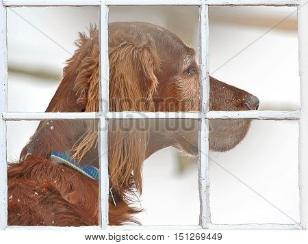 Irish setter in winter and wooden window pane frame