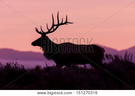 a bull elk in rut silhouetted at sunrise