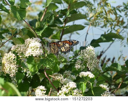 Beautiful Monarch butterflies have arrived in North Texas on the species annual migration to Mexico.