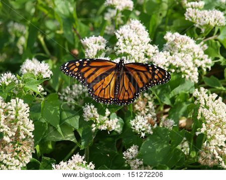 A migrating Monarch butterfly rebuilds its energy on a milkweed plant flower before migrating onward to Mexico for the winter.