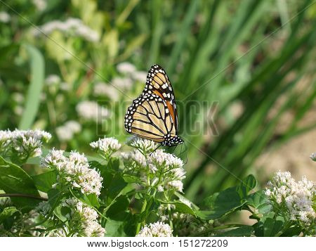 Monarch butterfly rebuilds engergy on its only food source, the milkweed plant.
