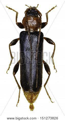 Violet Tanbark Beetle on white Background - Phymatodes testaceus (Linnaeus 1758)