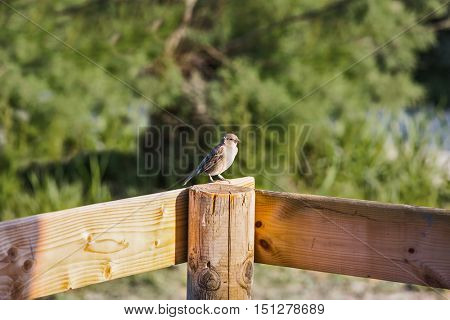 Grey sparrow on fence post.  Delta of the Rhone. Sunset in the national park of Camargue, Provence