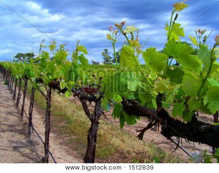 Row Of New Vine Growth