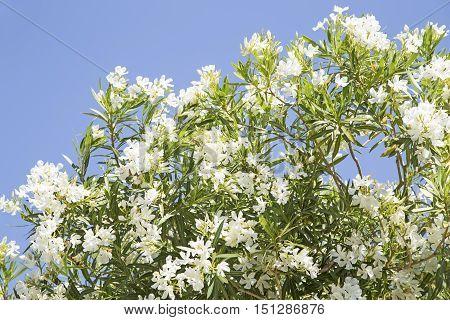 White Mediterranean oleander over a blue sky