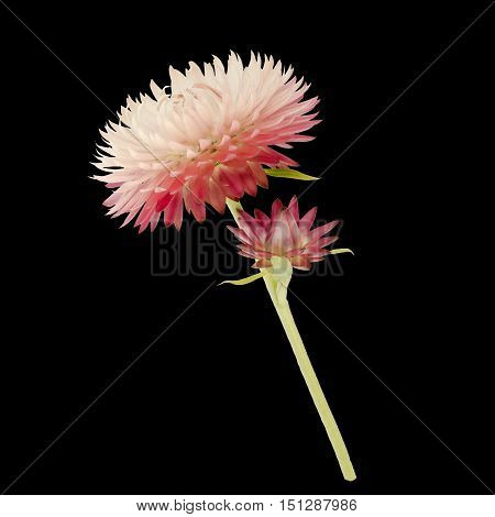 Strawflower With Stalk On A Black Background