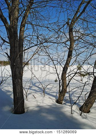 Winter landscape Urals. Trees without leaves on the edge of a snow field. Branches of trees form a patten lattice. February. The sun shines the blue sky with easy clouds