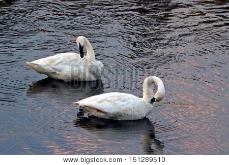 Pair of Trumpeter Swans in the Yellowstone River in Yellowstone National Park in Wyoming US
