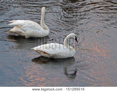 Pair of Trumpeter Swans in the Yellowstone River in Yellowstone National Park in Wyoming US of A