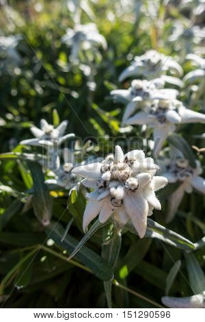 closeup of edelweiss flower in the karwendel alps