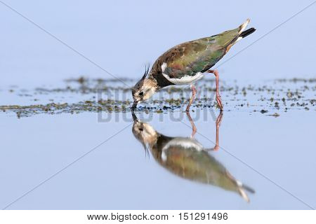 Reflected Northern Lapwing (Vanellus vanellus) feeding at Manych lake. Kalmykia Russia