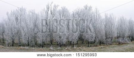Trees in a hoarfrost in the morning