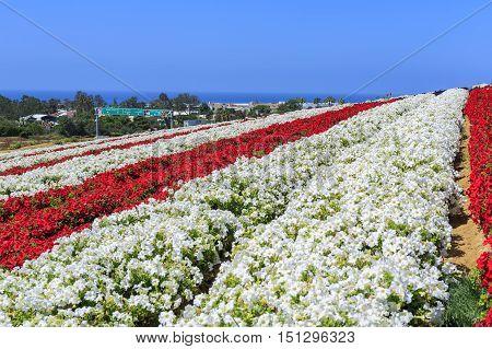 The Flower Fields