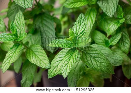 Growing spearmint leaves in the flowerpot. Horizontal. Close up.