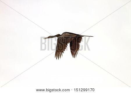 Oriental Darter Or Snakebird Bird