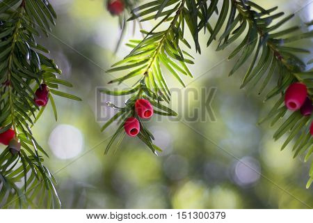 European yew (taxus baccata) tree with berries