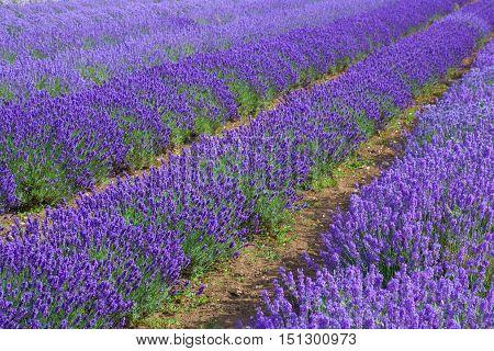 Lavander fields in Heacham lavander farm Great Britain. It remains England's premier lavender farm.
