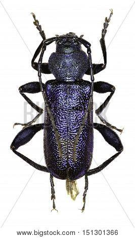 Violet Longhorn Beetle on white Background - Callidium violaceum (Linnaeus 1758)