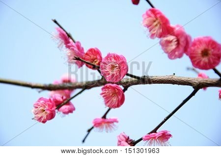 The blossoming plum blossom flowers closeup in garden