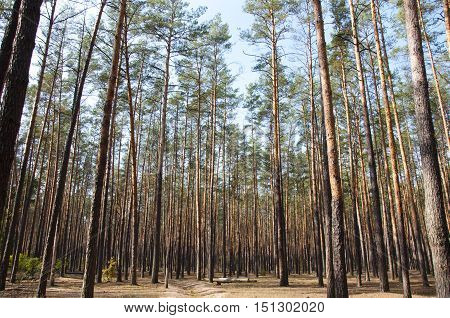 Pine Lush Sunny Forest